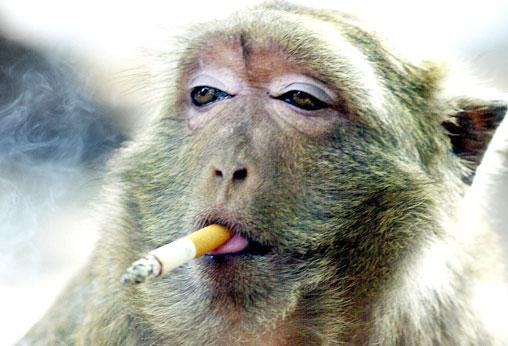 Foto Lucu Monyet Ngerokok dalam Puisi Berhala 9 cm