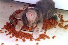 Serba Serbi Makanan Kucing